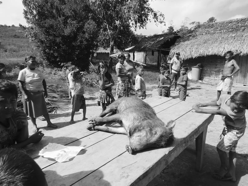 O fascínio pela carne de queixada. Em outubro de 2016, uma vara de queixadas passou pela Manalai e fez a alegria de várias famílias locais. Foto: Virgínia Amaral, 2016.