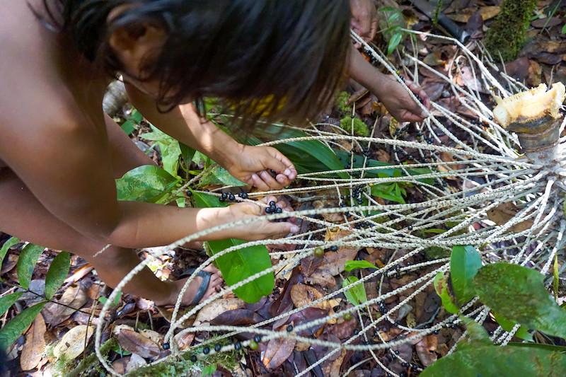Criança Dâw coletando açaí do mato. As crianças tiram as frutas de açaí do mato (kâr) do cacho no caminho do igarapé Inebo para a comunidade. Foto: Karolin Obert, 2019.