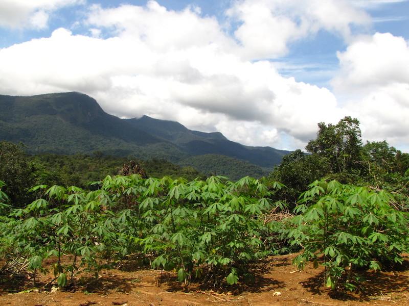 A roça e, ao fundo, a Serra ''Kayeenama''. Fuduuwaadunnha. TI Yanomami, Roraima. Majoí Gongora, 2013.