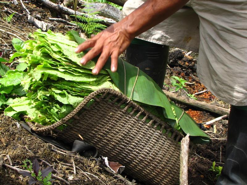 Cesto ''tudui'' repleto de folhas de tabaco. Fuduuwaadunnha. TI Yanomami, Roraima. Majoí Gongora, 2013.