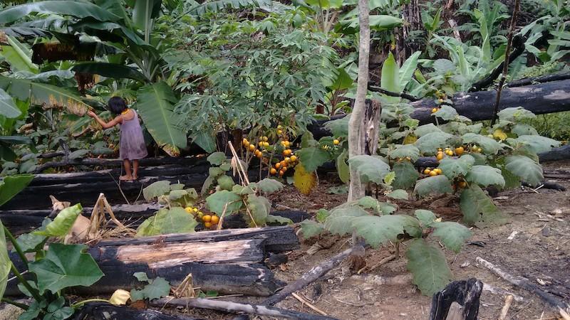 Roça nova com plantação de cubiu. Fuduuwaadunnha. TI Yanomami, Roraima. Majoí Gongora, 2013.